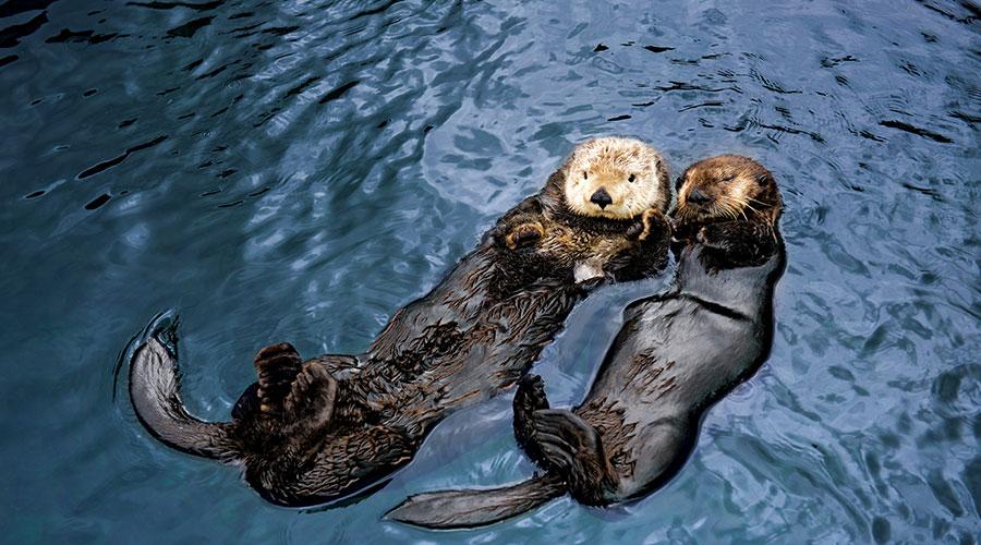 Vancouver Aquarium Otters